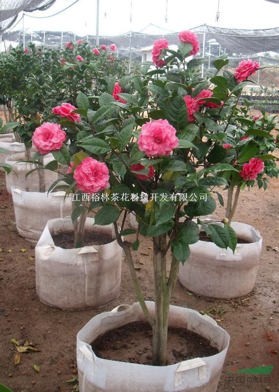 盆栽花卉植物 茶花2年茶花苗 树苗当年开花绿植盆栽