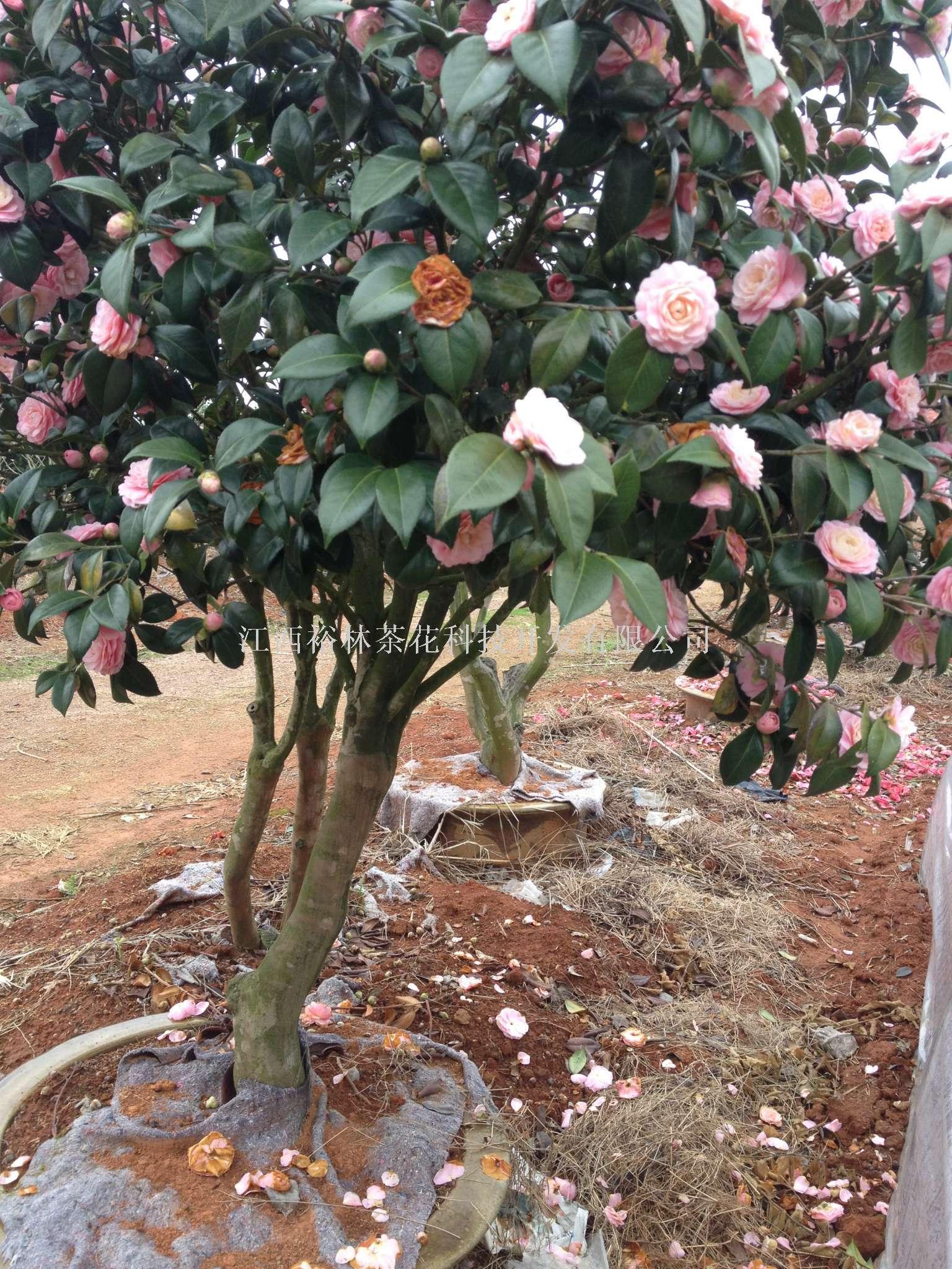 茶花老桩盆景